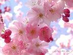 В Японии официально объявлен Сезон цветения сакуры