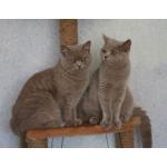 Британские лиловые кошечки-толстушки