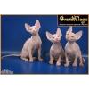 Голые котята Канадского Сфинкса и Бамбино за 20 000 руб.
