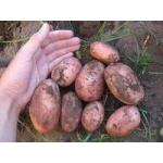 Картофель оптом 10 р. /кг.