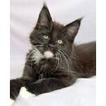 Питомник Анаверина предлагает к резервированию отличных котят мейн-кун