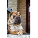 Продаю взрослую собаку Шарпей