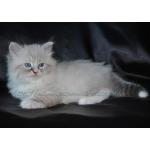 Продаются Невские Маскарадные котята