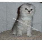 Сайт о шотландской вислоухой кошке и котятах