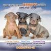 Той терьер:  лиловый,  голубой,  изабеловый - щенки