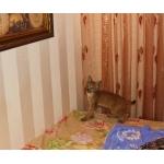 Продам котят Сибирской рыси(домашние) .